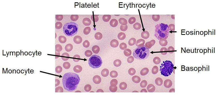 Leukocytes - White Blood Cells